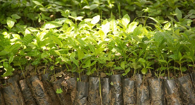Tree-seedlings-in-
